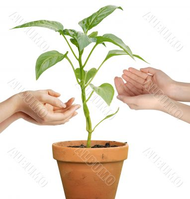Human hands holding a growing plant isolated over white background