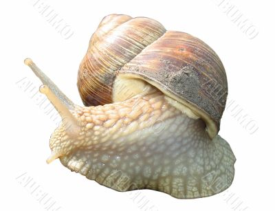 Little garden snail isolated