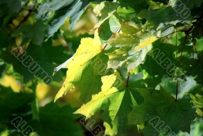 Maple autumn leaves-4