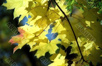 Maple autumn leaves -1