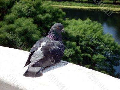 Dove on edge balcony