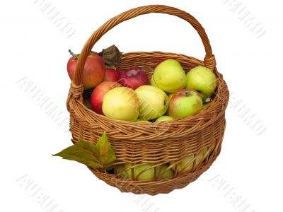 Harvesting. apples in a wooden basket isolated on white background