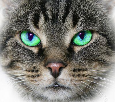 cat,domestic cat,green eye,animal