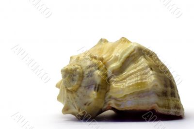 The seashell on a white background