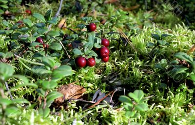 Bilberry in nature
