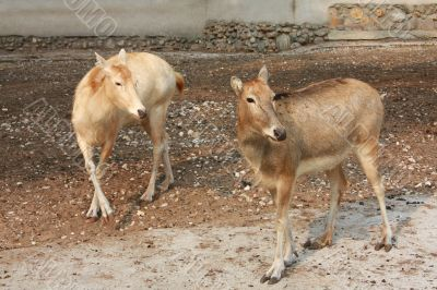 Two deers on stony ground