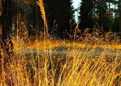 Grass, forest,sunset