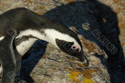 Funny Jackass Penguin