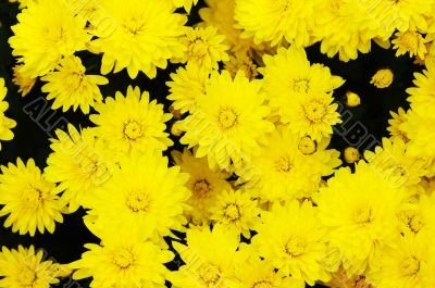 Yellow flower background.