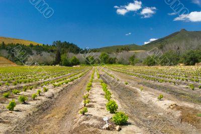 Kanonkop vineyard