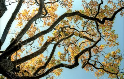 Picturesque branches of oak tree