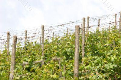 Vineyard near the oldest german city Trier.