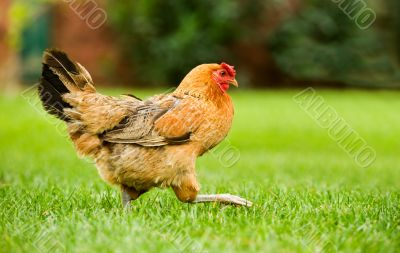 Hen on the move