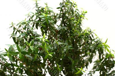 Myrtle foliage