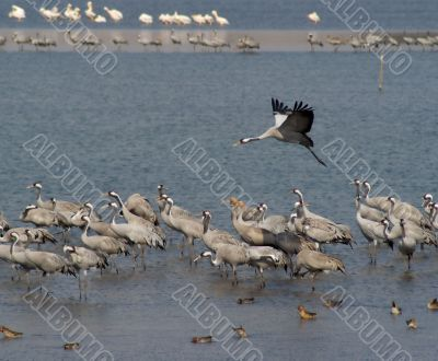 Migrating birds over nature lake at spring and autumn