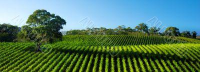 Vivid Vineyard Panorama