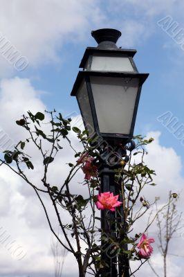 Street lamp and rose bush