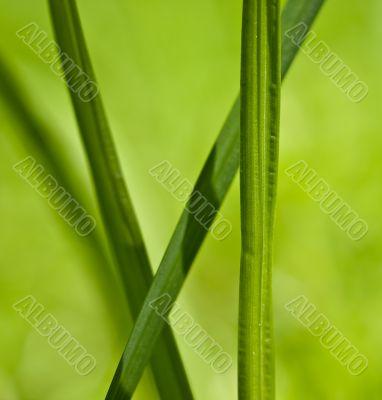 Green blade of grass