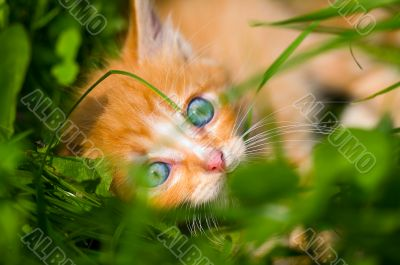 little red kitten is at the grass