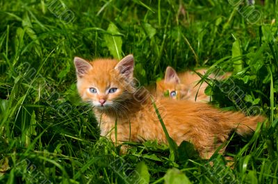 Two ryzhih grimy kitten in the green grass