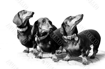Black-and-white photo. Devoted dogs