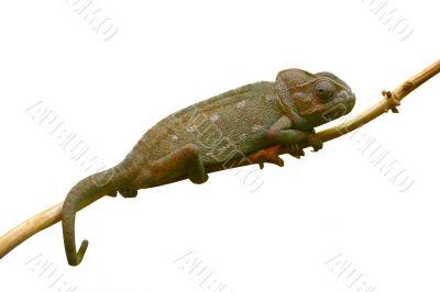 chameleon isolated on branch