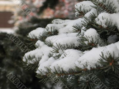 snow on a green branch
