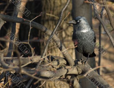 Black rook in branches