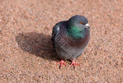 Pigeon on gravel