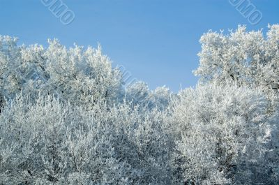 Trees mantled with rime frost and bushes