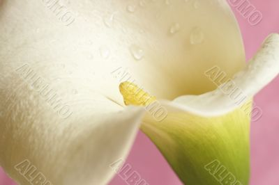 Beautiful calla lilly on pink