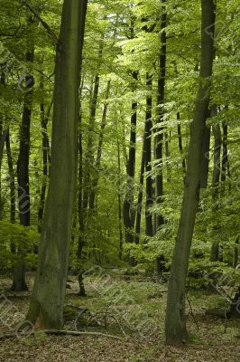 french oak and beech forest