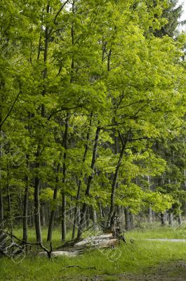 beech forest edge in France