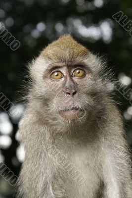 Curious monkey protrait