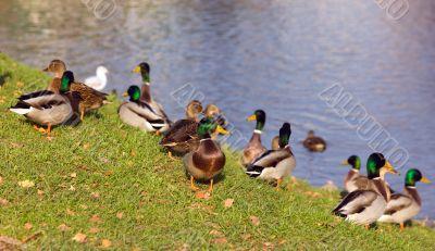Duck coast