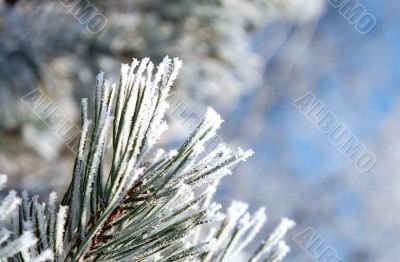 Hoarfrost on the needles of a pine tree
