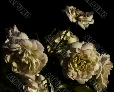 old bronze roses