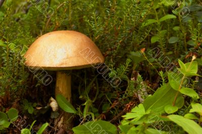 Mushroom a rough boletus