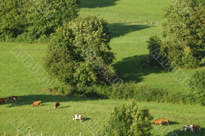 Groups of cows in french Alps