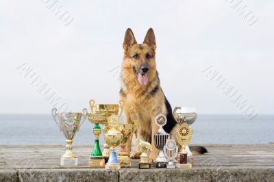 Sheep-dog with awards sitting on the stone