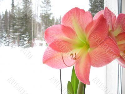 Pink amaryllis on the windows windoow
