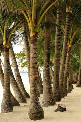 Trees palms