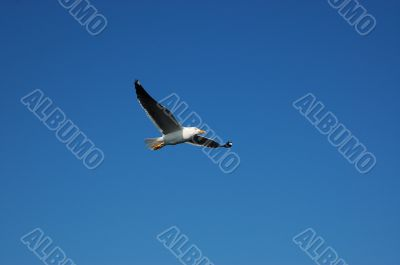 The seagull in the blue sky.