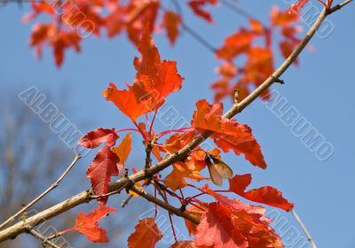 Red leaves of maple tree
