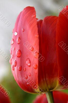 Tulip in drops of a rain.