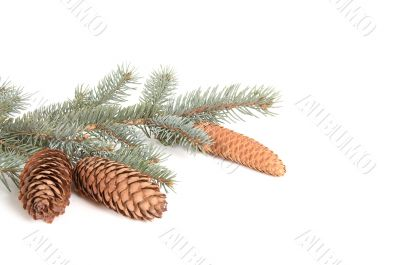 Branch of fir tree and cones.