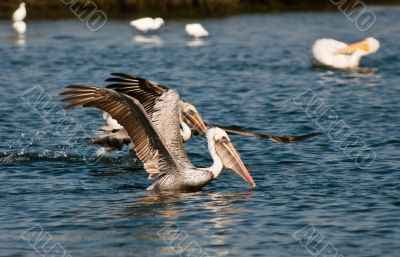 Pelicans at Play