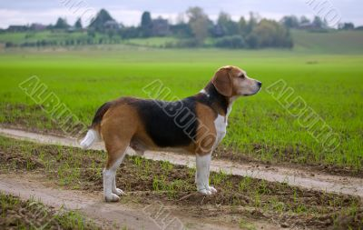 An adult beagle dog in the countryside