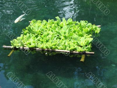 floating plants with fish
