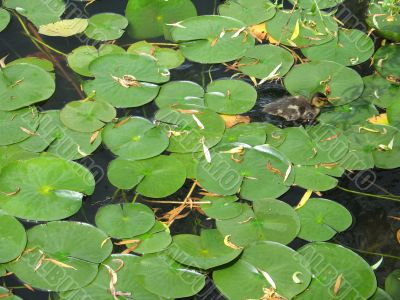 baby duck in a small pond
